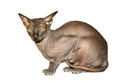 Sphinx cat Royalty Free Stock Photos
