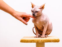 Sphinx cat woman arm caress comfort Stock Photography
