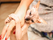 Sphinx cat woman hand play indoor Stock Image