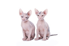 Sphinx cats Stock Images