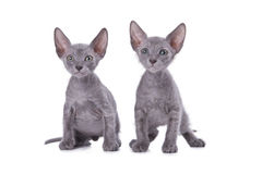 Sphinx cats Stock Photos