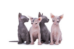 Sphinx cats Stock Photography
