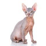 Sphinx chauve de chat Images stock