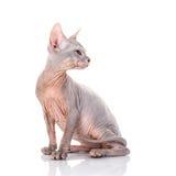 Sphinx chauve de chat Photos libres de droits