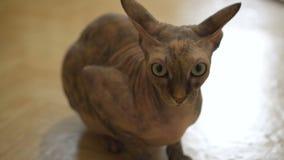 Sphinx chauve de chat de beau pur sang avec les yeux verts et jaunes à la maison banque de vidéos