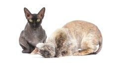 Sphinx chauve noir de chat Photo libre de droits