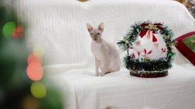 Sphinx de chat se reposant sur le sofa banque de vidéos