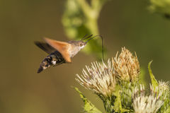 Sphinx de colibri (stellatarum de Macroglossum) Photos stock