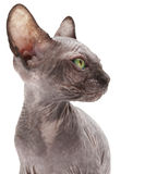 Sphinx del gattino Immagini Stock