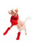 Sphinx del gatto caldo con la sciarpa ed i calzini rossi Immagine Stock