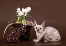 Sphinx domestique de rat et de chaton près de crocus image stock