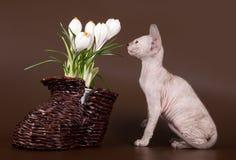 Sphinx domestique de rat et de chaton près de crocus photo stock