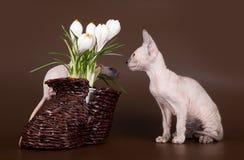 Sphinx domestique de rat et de chaton près de crocus photographie stock