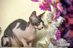 Sphinx and flowers. Young elegant sphinx and flowers Royalty Free Stock Images