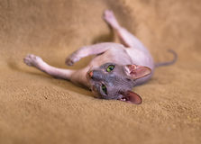 Sphinx with green eyes. Sphinx cat with green eyes is lying on his back Stock Images