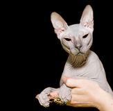 Sphinx hairless cat royalty free stock photo
