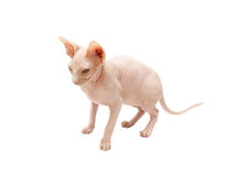 Sphinx isolated Royalty Free Stock Images