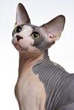 Sphinx-Katze Stockbild