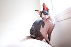 Sphinx-Katze auf Sofa Lizenzfreie Stockfotografie