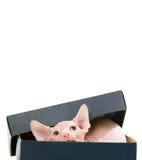 Sphinx kitten Royalty Free Stock Photos