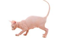 Sphinx kitten Stock Photography