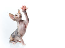 Sphinx kitten, copy-space for text Royalty Free Stock Image