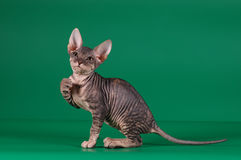 Sphinx kitten hold something (banner) Royalty Free Stock Images