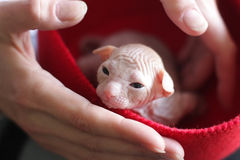 Sphinx kitten in red cap Stock Images