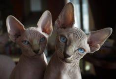 Sphinx kittens Stock Image