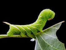 Sphinx ligustri caterpillar on leaf Royalty Free Stock Images