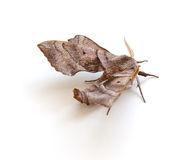 Sphinx Moth Stock Photo