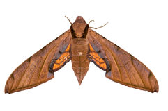 Sphinx Moth Royalty Free Stock Images