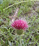 A Sphinx Moth on a Spiny Thistle Stock Photo