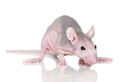 Sphinx rat Royalty Free Stock Photo