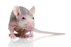 Sphinx rat on white background Royalty Free Stock Image