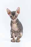 SPHINX small breed kitten on a white background. SPHINX small breed kitten on a white background royalty free stock photography