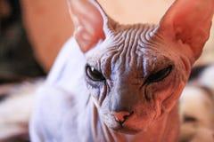 Sphinxkätzchen der Porträtgetigerten katze, kahle Katze, kleines Babykatzenkleinkind stockbilder