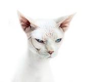 Sphinxkatze mit blauen Augen Lizenzfreies Stockfoto