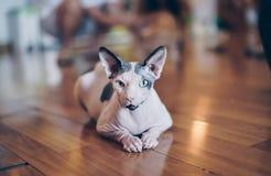 Sphinxkatzen schauen nett und elegant, wenn die kurzen Haare auf w sitzen lizenzfreie stockbilder