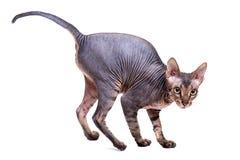 Sphinxkatzenisolat auf einem weißen Hintergrund stockfotografie