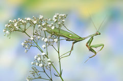 Sphodromantis viridis (male) Stock Photo