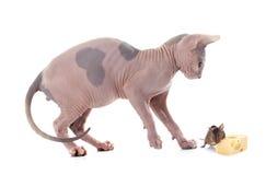 Sphynx无毛的猫和老鼠 免版税库存照片