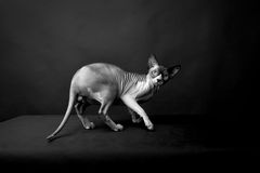 Sphynx猫。秃头猫。埃及猫 图库摄影