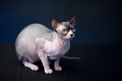 Sphynx猫。秃头猫。埃及猫 库存照片