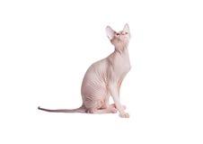 Sphynx猫查寻 免版税库存照片