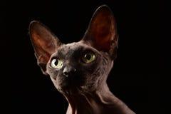 Sphynx猫面孔 库存图片