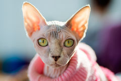 Sphynx猫 库存图片