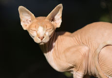 Sphynx猫 免版税图库摄影