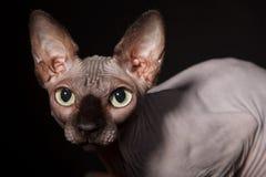 sphynx кота Стоковые Изображения RF