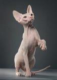 sphynx кота Стоковое Изображение RF